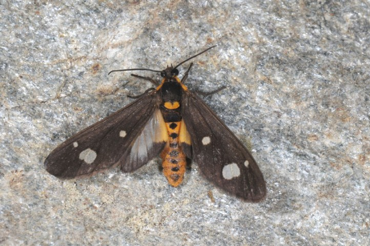 Dysauxes famula: Male (Greece, Samos Island, late May 2014) [M]