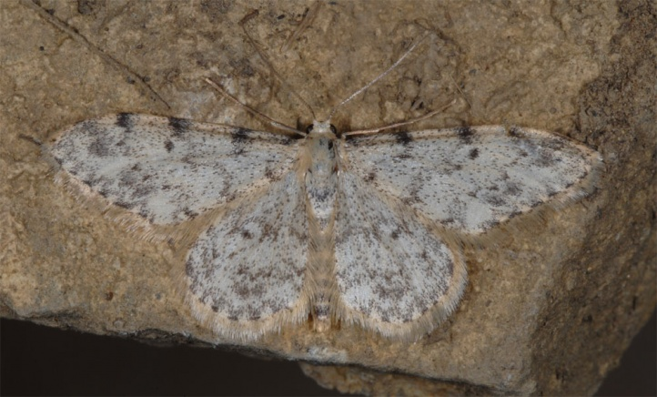 Idaea contiguaria: Adult (Spanish west Pyrenees, Canfranc, July 2010) [N]
