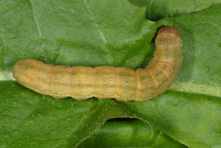 Orthosia gracilis: Larva (e.l. Schwäbisch Hall ex May 2010) [S]