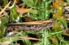 Aiolopus thalassinus: Brownish female (Madeira, Peninsula Sao Lourenco, March 2013) [N]