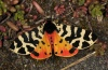 Atlantarctia tigrina: Female (e.p. Provence, Verdon, April 2013) [S]