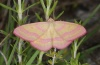 Adult (Northern Greece, May 2010)