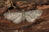 Eupithecia subfuscata: Adult (e.l. northern Black Forest 2011) [S]