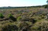 Polyommatus argus: Habitat in a disturbed bog (Calluna stage) in the northern foreland of the Alps (2012) [N]