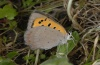 Lycaena phlaeas: Lower side (e.l. La Gomera 2006) [S]