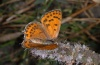 Lycaena thersamon: Weibchen (Olymp, Anfang August 2012) [N]