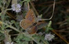 Lycaena tityrus: Weibchen (Olymp, Anfang August 2012) [N]