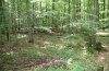 Actornis l-nigrum: Larval habitat in a beech forest. Young larvae can be found on the lower branches. [N]