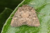 Lacanobia aliena: Adult (e.o. Hautes-Alpes, eggs on Hippophaes in July 2012) [S]
