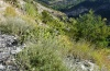 Cucullia cineracea: Larval habitat in the Hautes-Alpes: Artemisia camphorata at dry slopes (September 2012) [N]
