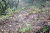 Euplexia dubiosa: Larval habitat in the foggy laurel forest (Madeira, Paul da Serra, March 2013) [N]