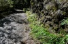 Mesapamea maderensis: Larval habitat with Festuca donax in the laurel forest (Madeira, March 2013) [N]