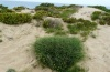 Cucullia scrophulariphaga: Larval habitat in the dunes of Costa Verde in Sardinia (May 2012) [N]