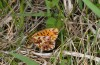 Boloria dia: Oviposition (eastern Swabian Alb, S-Germany, mid-May 2013) [N]