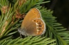 Coenonympha hero: Female (eastern Swabian Alb, Southern Germany, 28. May 2012) [N]