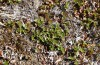 Boloria improba: Larval habitat with Salix herbacea (N-Sweden, Abisko, early July 2020) [N]