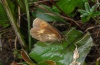 Erebia manto: Female (Hinterstein, 1700m above sea level, August 2012) [N]