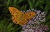 Argynnis paphia: Male (eastern Swabian Alb, Southern Germany, August 2012) [N]