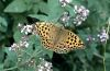 Argynnis paphia: Female upper side [N]