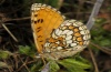 Melitaea parthenoides: Lower side (e.o. Spanish west Pyrenees, Aisa, 2010) [S]