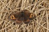 Erebia rondoui: Female (Canigou, 2000m NN, mid-October 2013) [N]