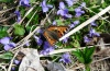 Nymphalis urticae: Adult on violets (Memmingen, Germany, 14. April 2013) [N]