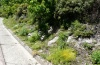Papilio hospiton: Larval habitat at a road side (Sardinia, 900m above sea level, May 2012) [N]