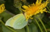 Gonepteryx cleobule: Female on Sonchus gomerensis (La Gomera, Valle Hermosa, February 2013) [N]