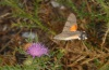 Macroglossum stellatarum: Adult feeding on thistle in the flight (Northern Greece, July 2012) [N]